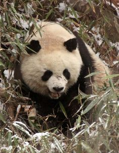 A Panda ... Coke & Som Smith Photography & Travelogue