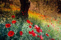 Ölbaum, Olivenbaum, Mohnblume, Toscana