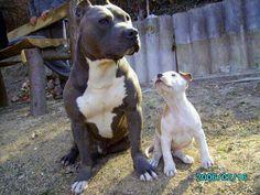 ... about Love my Pitbulls on Pinterest | Pitbull, Pitbulls and Pit bull