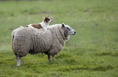 dog on sheep