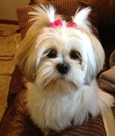 Lhasa Apso ❤ This ones for you, mom. Isn't she adorable