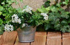 Jasmin plant with Sensible Gardening Growing Herbs, Growing Flowers, Planting Flowers, Jasmine Plant Indoor, Indoor Plants, Gerbera, Plante Jasmin, Peace Lily, Garden Nursery