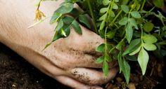 Easy Jardín - Plantas de Interior - Cómo plantar un arbusto en macetas