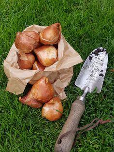 Første porsjonen med tulipanløk i boks, plant dem nå! Garden Trowel, Garden Tools, Stuffed Mushrooms, Vegetables, Food, Plant, Stuff Mushrooms, Veggies, Vegetable Recipes