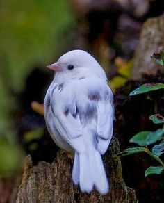 Leucistic dark-eyed junco ~ Leucism is absence of normal pigment that is usually patchy, as opposed to true albinism which is total absence of pigment including the eyes.  #naturalist