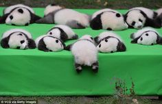 baby pandas It's been a long week and you deserve this. Also, pandas are stupid. Niedlicher Panda, Panda Bebe, Cute Baby Animals, Animals And Pets, Funny Animals, Wild Animals, Baby Panda Pictures, Panda Lindo, Fotojournalismus