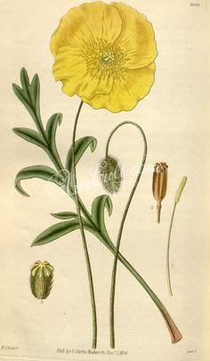 cbm-57 - papaver croceum, Orange-flowered Poppy      ...