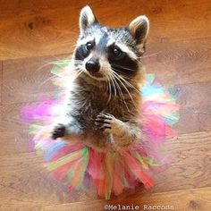 """** """" Me didn'ts evers dream yoo wouldz goes dis far. Me haz to tellz yoo dat… Rocky Raccoon, Pet Raccoon, Funny Animal Pictures, Cute Funny Animals, Animals And Pets, Baby Animals, Pet Costumes, Cute Creatures, Image Hd"""