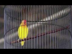 PRESIDEN CUP IV - LOVEBIRD AWE WE JUARA SATU 5 KALI