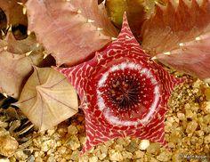 Huernia guttata ssp. reticulata flower | Flickr - Photo Sharing!