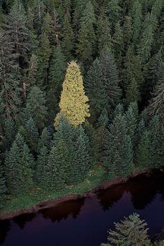 Haida Gwai Golden Spruce - A mythical tree - A wonder until it was cut down in 1997. - British Columbia, Canada