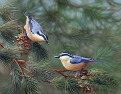 """Sandra Janeen : """" Red-breasted nuthatch...like their friends, the chickadees, they come 'round in all weather and all seasons.  another of my favorite kinds of bird-friends."""" [Feb. 18, 2014 ]"""