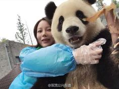 After cute photo-taking session Panda in China becomes social media star. A female tourist took several selfies with her phone sitting next to the bear. The bear tried to control the selfie stick and struck perfect Panda Love, Red Panda, Cute Panda, Panda Mignon, Panda Lindo, Instagram Pose, Selfie Poses, Chengdu, Bear Cubs