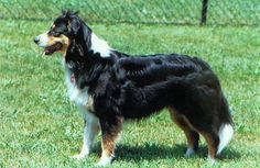 Creekview Farm English Shepherds - Where our Finley is from! English Shepherd, Australian Shepherd Dogs, Dogs 101, Dogs And Puppies, Doggies, Farm Dogs, Herding Dogs, Mixed Breed, Four Legged