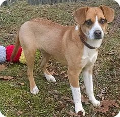 Spring Valley, NY - Beagle Mix. Meet TYLER, a dog for adoption. http://www.adoptapet.com/pet/12160237-spring-valley-new-york-beagle-mix