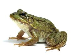 Find Frog On White stock images in HD and millions of other royalty-free stock photos, illustrations and vectors in the Shutterstock collection. Thousands of new, high-quality pictures added every day. Dental Facts, White Stock Image, Illustrations, Amphibians, Art Images, Cool Kids, Animal Pictures, Photo Editing, Royalty Free Stock Photos