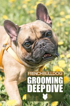 French Bulldogs are awesome little companion dogs. They have amazing, humorous personalities, are affectionate, and have shorty easy to manage coats. This and more makes them one of the top breeds of smaller dogs that world over. This video is dedicated to everything you could ever want to possibly know about keeping your Frenchie's appearance in tip-top shape. So stick around for this groom deep dive to find out exactly what you need in terms of brushes or equipment etc. French Bulldog Breed, Bulldog Breeds, French Bulldogs, Best Dog Breeds, Small Dog Breeds, Best Dogs, Dog Breed Info, The Perfect Dog, Companion Dog