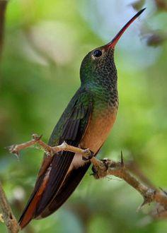 buff-billed male hummingbird