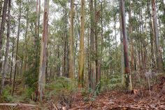 australian eucalypt forest - Google Search Google Search, Plants, Plant, Planets