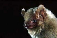 Western yellow bat