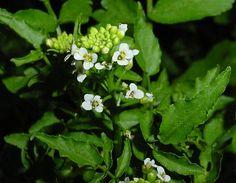 Flor de la planta del berro.