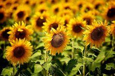 https://flic.kr/p/6C5Swg | Sunflowers | Sunflowers around Shabla, Bulgaria