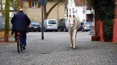 """في كل صباح في """"فرانكفورت"""" بألمانيا ، يمكنك مقابلة """"جيني"""" في طريقك 😀 وهي أنثى الحصان، تمشي كل صباح، بمفردها 😇 كانت… Goats, Street View, Genere, Goat"""