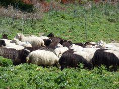 Bianche e nere: gregge in Sardegna