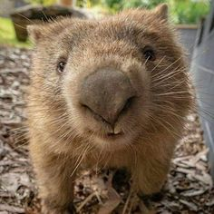 Come to Australia with me Animals And Pets, Baby Animals, Cute Animals, Wild Animals, What Is A Wombat, Cute Wombat, Australia Animals, Quokka, Animal Drawings