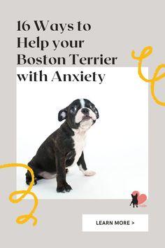 16 Ways to Help Boston Terriers with Anxiety #bostonterrier #bostonterrierpuppy #bostonterrierbreed #bostonterriercare #bostonterrierfacts #bostonterriertips #bostonterrierhealth #bostonterriersaspets #bostonterrierdog #bostonterrierpet #bostonterrierbehaviour #bostonterrierpersonality #bostonterriertemperament #bostonterrierowner #owningabostonterrier #dogfears #dogfearofpeople #dogfearofthunder #dogfearofstrangers #doganxiety #dogseparationanxiety #dogseparationanxietyremedies Boston Terrier Temperament, Boston Terrier Dog, Dog Separation Anxiety, Dog Anxiety, Dog Health Tips, Dog Health Care, What Dogs, Companion Dog, Dog Feeding