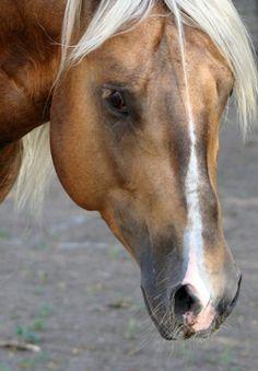 showgirlglitz:Cha Ching Chex(Chex Nu Jewel x Dunit Show Palomino AQHA Stallion Quarter Horses, American Quarter Horse, Palomino, All The Pretty Horses, Beautiful Horses, Animals Beautiful, Horse Photos, Horse Pictures, Zebras