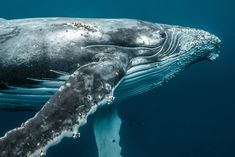 """Growing up in the Middle East and Asia, marine photographer, Karim Iliya, certainly had his fair share of diverse cultural exploration. But nothing could have prepared him for what lies beneath the surface after his first encounter with a humpback whale.  """"Like birds underwater,"""" he says, """"Mythical creatures like dragons, unicorns, or spirits, and …"""