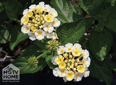 HGTV HOME Plants - White Glow™