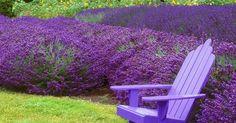 Blumengarten Anlegen with Lavendel Garten with Kiel Botanischer Garten from garten. Landscaping Plants, Garden Plants, Residential Landscaping, Herb Gardening, Landscaping Software, Vegetable Garden, Garden Art, Lavender Companion Plants, Lavender Plants