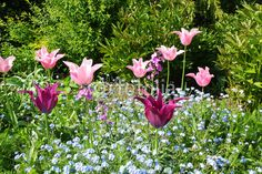 "Download the royalty-free photo ""Spring tulips in St James park, London"" created by JulietPhotography at the lowest price on Fotolia.com. Browse our cheap image bank online to find the perfect stock photo for your marketing projects!"