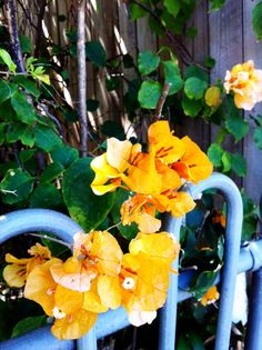 Orange Bougainvillaea