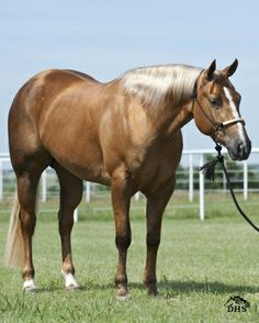 WIMPYS ALL JACKED UP, palomino quarter horse mare - I knew this mare as a yearling. She's always been a looker! :)