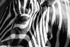 animal Free Realistic Photo DOWNLOAD (.jpg) :: http://vector-graphic.ovh/photo-cat-animal-0-zebra-good-easy-animal-freeid-1170227i.html ... zebra, good, easy ... animal zebra, good, easy animal jam shelter science collective drawings eyes pics cat dog zebra unicorn photo tattoos wallpapers Realistic Photo Graphic Print Business Web Poster Vehicle Illustration Design Templates ... DOWNLOAD :: http://vector-graphic.ovh/photo-cat-animal-0-zebra-good-easy-animal-freeid-1170227i.html
