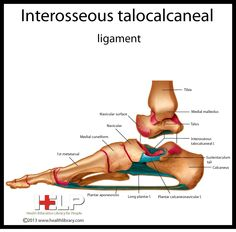 Interosseous Talocalcaneal ligament
