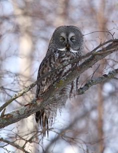 A great gray owl perches on a branch in a neighborhood park on Friday, March 9, 2012, in south Anchorage, Alaska. The Alaska Department of Fish and Game says the owl's distinctive facial disk and its feathers help direct sounds toward its ear openings, and that it can hear mice and other rodents under two feet of snow. Bird watchers have reported repeated sightings of the normally reclusive great gray owl in Anchorage throughout the winter.