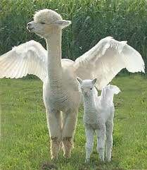 Cute angel llamas