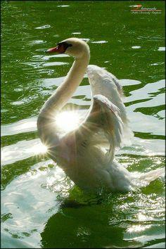 Swan Dance in the Sunlight