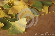 Photo about Autumn colors - leaves of Ginkgo biloba, ginkgo, maidenhair tree. Image of maidenhair, ginkgo, colors - 130117787