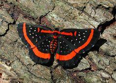 Riodinidae Riodinidae amarynthis meneria