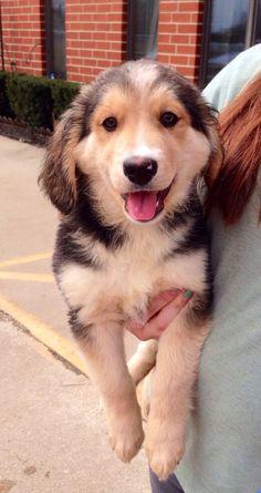 Labernese puppy. A mix between a Labrador retriever and a bernese mountain dog. Too cute!  #puppy #dog #mix #cute
