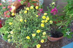 Purslane, portulaca umbraticola: yellow in front, orangey-pink in back