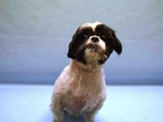RETURNED! PET HEALTH! SUPER URGENT 12/20/16 Manhattan Center LUCKY – A0987703 **RETURNED 12/20/16** NEUTERED MALE, BLACK / WHITE, LHASA APSO, 7 yrs OWNER SUR – ONHOLDHERE, HOLD FOR ID Reason PET HEALTH Intake condition EXAM REQ Intake Date 12/20/2016, From NY 10461, DueOut Date 12/20/2016,