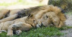 I think it's really adorable. It's nice to see that the dad is spending much time with his cubs!