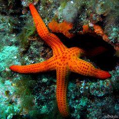 Sea Star by StellaStyles Sea Aquarium, Underwater Photographer, Ocean Life, Marine Life, Sea Creatures, Under The Sea, Starfish, Seahorses, Nature
