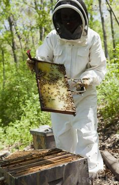 Beekeeper at work. Beekeeper wearing protective clothing inspects the honeycomb , Queen Bees, Bee Keeping, Honeycomb, Art Sketches, Colonial, How To Wear, Honey Bees, Image, Clothing